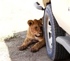 10 safari surprises animal behaviors you never expect you u0027ll see
