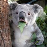Koala Meme Generator - surprised koala meme generator imgflip
