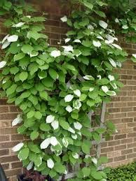 vine for a big pergola pergolas garden nook and plants