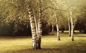 2560x1600 birch tree wallpapers