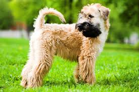 wheaten haircuts soft coated wheaten terrier grooming bathing and care espree