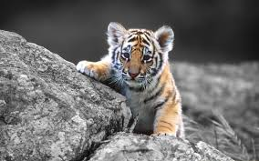 Small Wallpaper by Baby Tiger Pictures Qygjxz