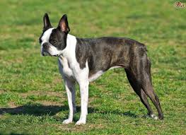3 legged australian shepherd boston terrier dog breed information buying advice photos and