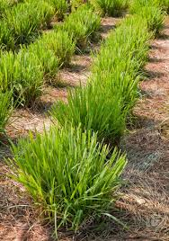 garden design garden design with lemongrass plant stock photo