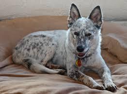 australian shepherd queensland heeler mix puppies a new family member photo four foots