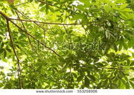 fresh light green tree leave stock photo 553258906