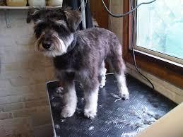 schnauzers hair cuts miniature schnauzer puppy cut grooming google search jingle