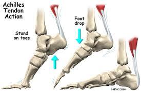 Foot Ligament Anatomy Achilles Tendon Problems Houston Methodist
