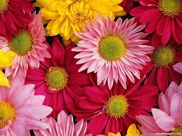 gerbera daisies gerbera daisies wallpapers wallpaper cave