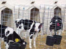 Calf Hutches For Sale Clean Calf Hutches More Than A Spring Cleaning Project The