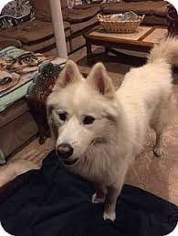 american eskimo dog winnipeg 10 18 15 u2015 georgia samoyed rescue u2015 adoptions u2015 rescueme org all