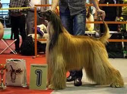 afghan hound national dog show afghan hound kennel