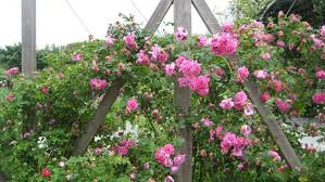 trellis roses flowering vines and climbing plants for pergolas and trellises