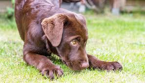 inherited diseases in dogs the labrador site