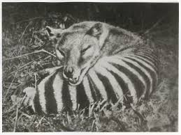 tasmanian tiger sightings and facts about u0027extinct species u0027