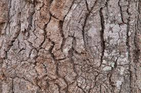 White Oak Tree Bark Texas Oak Trees Search In Pictures