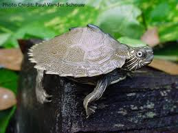 Ringed Map Turtle Graptemys Sabinensis Natural History Care And Photo