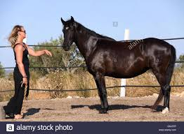 Young Woman Training Horse Outside In Summer Stock Photo Royalty
