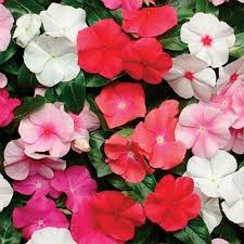 vinca flower pacifica hybrid mix vinca flower seeds