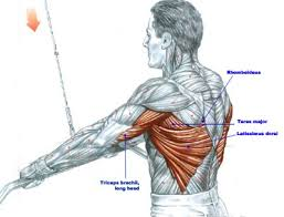 What Muscle Do Bench Press Work Best Lat Pulldown Machine Choices U2013 Beginners Guide To Lat Pulldowns
