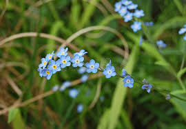 blue forget me nots stock image image of tiny forget 55186739