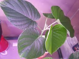 hawaiian baby woodrose hawaiian baby woodrose hawaiian strain various herbs and fly