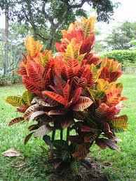 Plant Diseases Wikipedia - codiaeum variegatum wikipedia