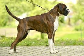 boxer dog 10 months boxer dogs and puppies for sale in the uk pets4homes