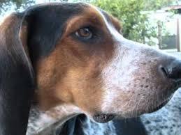 bluetick coonhound song blue tick hound dog boone youtube