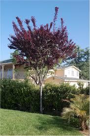 prunus cerasifera purple pony or big cis ornamental purple