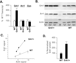 what is 138 311 as a percent effect of g protein u2013coupled receptor kinase 1 grk1