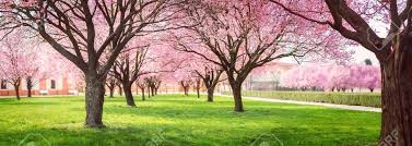 blossom trees panorama of cherry blossom trees alley in garden on a fresh green