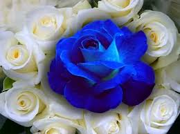 white and blue roses blue white roses blue roses wallpapers and images desktop