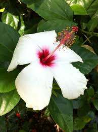 schizopetalus and other rare hibiscus species