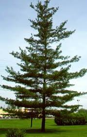 white pine tree 29 best pine trees images on pine tree chains and