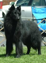 belgian sheepdog akc color belgian sheepdog club of america