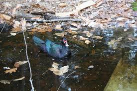 keeping muscovy ducks backyard chickens