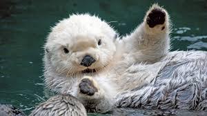 Sea Otter Meme - sea otter wallpaper 1920x1080 59012
