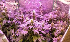 cheap grow lights for weed cannabis grow light upgrade guide yields potency explained