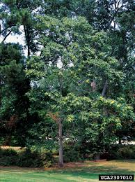 non native plant tree of heaven nonnative invasive plants of southern forests a