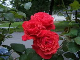 Fragrant Rose Plants Fragrant Cloud U0027 By Dee Genetti Beautiful Blooms Hybrid Tea