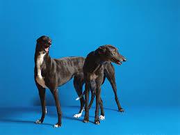 belgian shepherd x greyhound greyhound dog breed information pictures characteristics u0026 facts