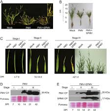 Symptoms Of Viral Diseases In Plants - characterization of a viral synergism in the monocot brachypodium
