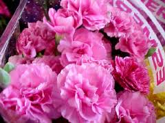 wholesale carnations carnations wholesale usa carnations california carnations florist