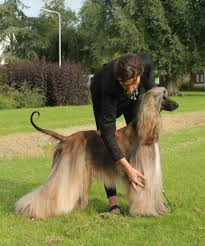 afghan hound breeders europe thuja candy kisses ahi afghan hound pedigree database