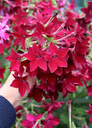 Fragrant Shade Plants - nicotiana alata x sanderae u0027crimson bedder u0027 fragrant deer
