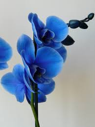 blue orchid flower blueorchid explore blueorchid on deviantart