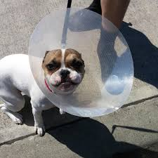 cone of shame admire the collar of indignity