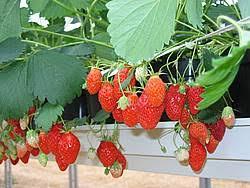 chambre d agriculture de picardie la culture de fraise se jette à l eau chambre d agriculture de