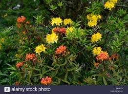 rhododendron luteum euphorbia fireglow yellow orange color colour